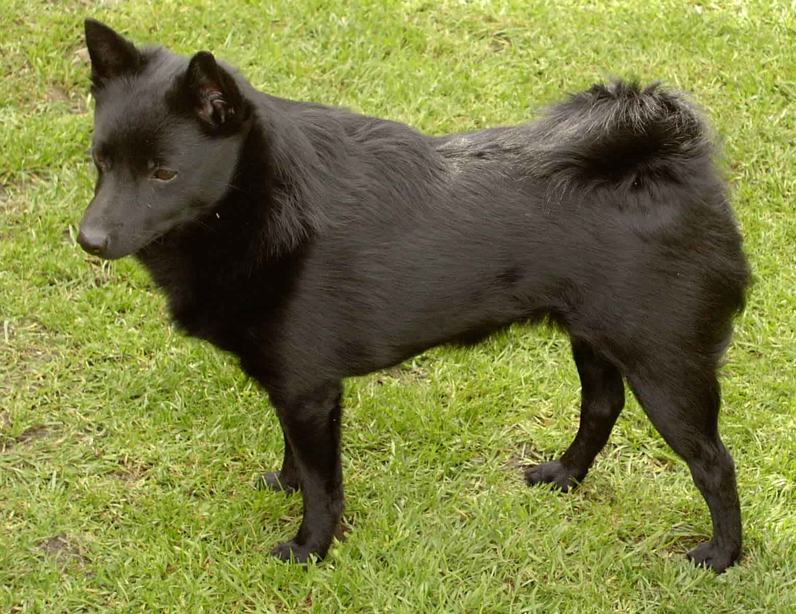 Schipperke Dog: Schipperke Schipperkes Breed