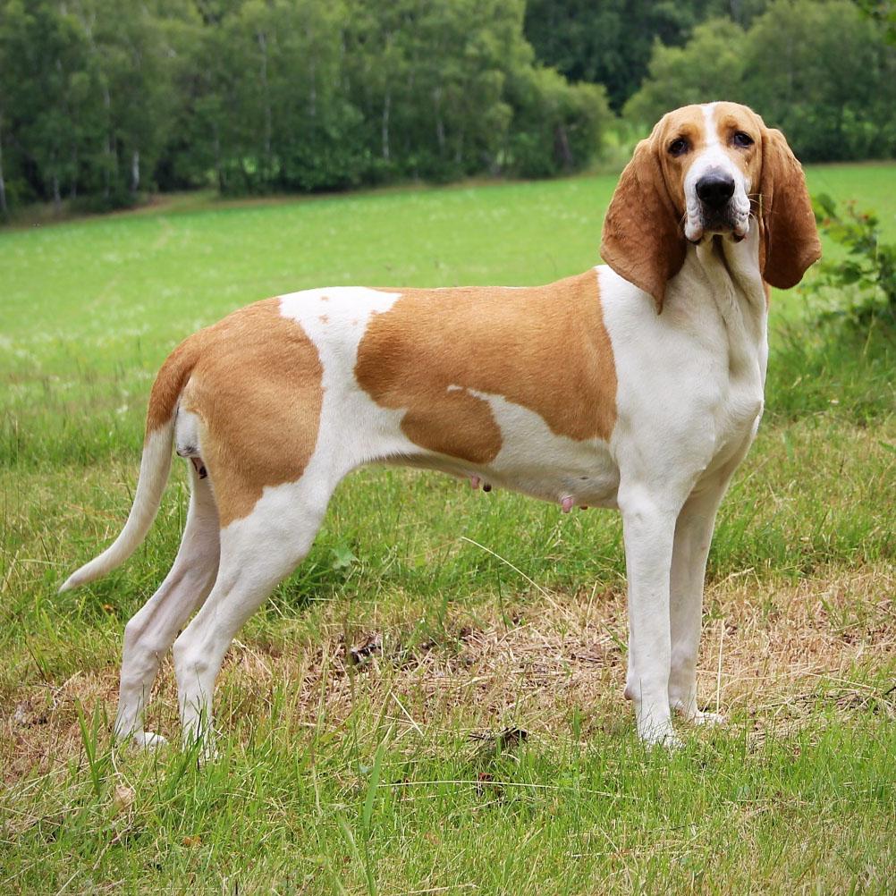 Schweizer Laufhund Dog: Schweizer Schweizer Laufhund Breed