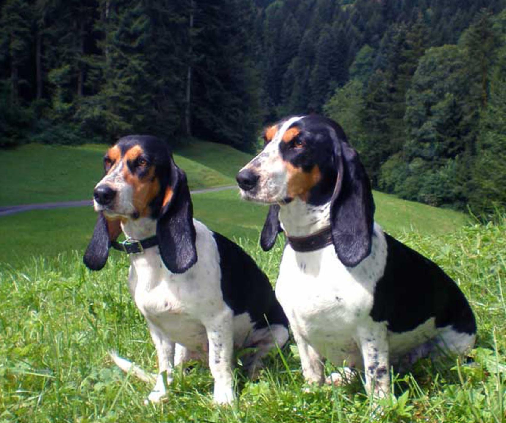 Schweizer Laufhund Dog: Schweizer Two Schweizer Laufhund Dogs Breed