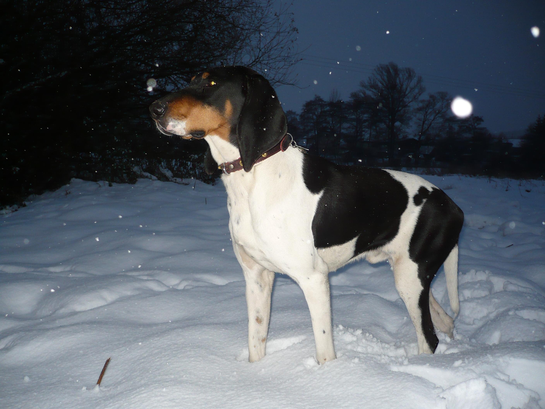 Schweizer Laufhund Dog: Schweizer Winter Schweizer Laufhund Breed