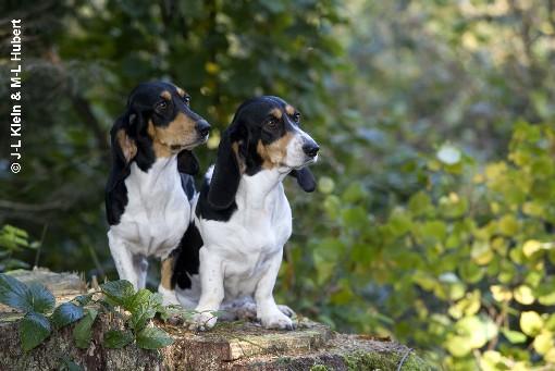 Schweizerischer Niederlaufhund Dog: Schweizerischer Kucukisvicretazisi Breed