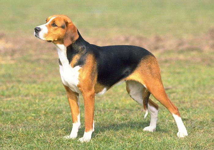 Schweizerischer Niederlaufhund Dog: Schweizerischer Lovely Schweizerischer Niederlaufhund Dog Breed