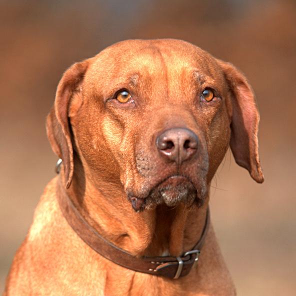 Schweizerischer Niederlaufhund Dog: Schweizerischer Rhodesian Ridgeback Dog Breed