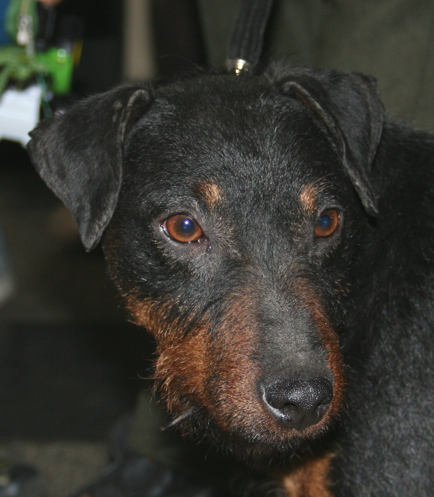 Schweizerischer Niederlaufhund Dog: Schweizerischer Sad Jagdterrier Dog Breed