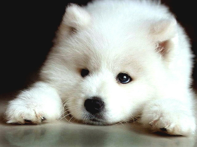 Schweizerischer Niederlaufhund Puppies: Schweizerischer Sad Samoyed Puppy Breed