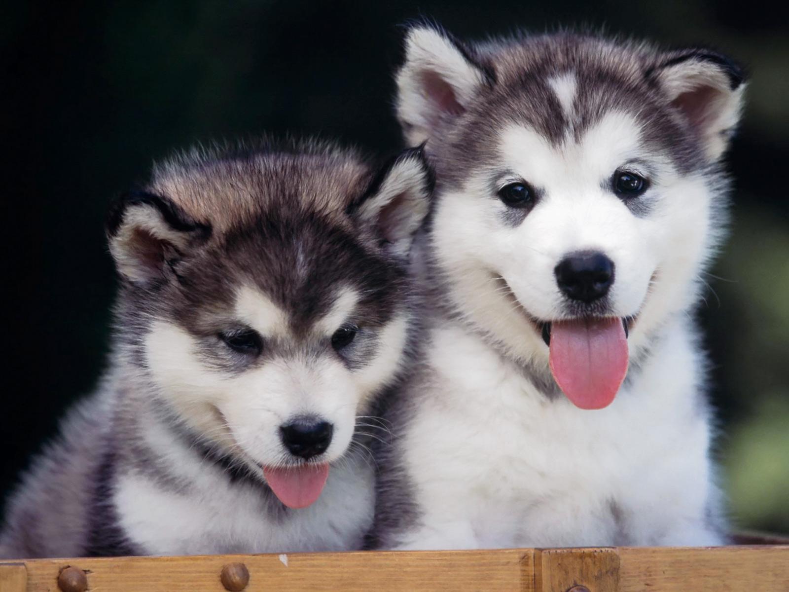 Schweizerischer Niederlaufhund Puppies: Schweizerischer Siberian Husky Puppies Breed