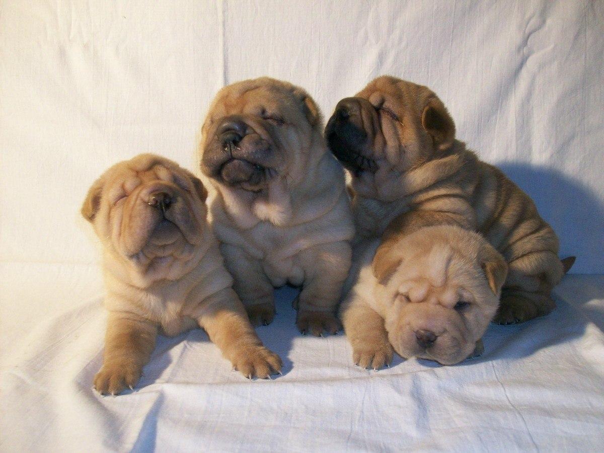 Schweizerischer Niederlaufhund Puppies: Schweizerischer Sitting Shar Pei Puppies Breed