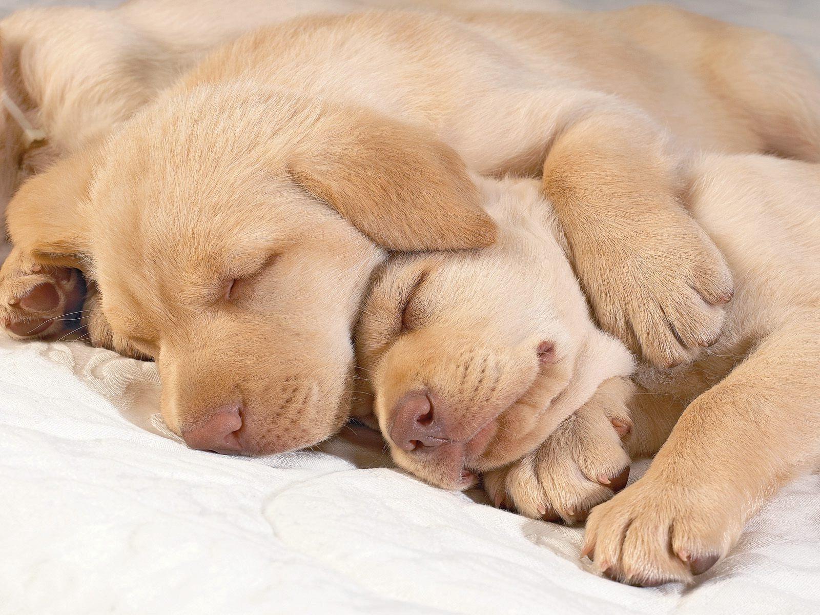 Schweizerischer Niederlaufhund Puppies: Schweizerischer Sleeping Golden Retriever Puppies Breed