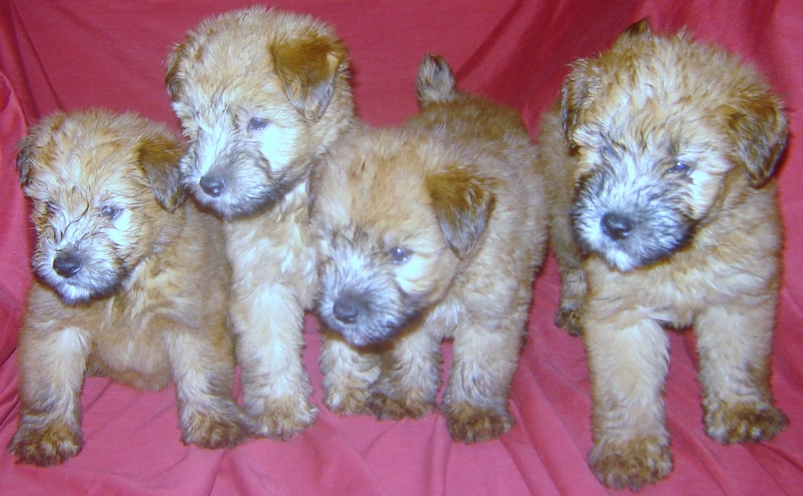 Schweizerischer Niederlaufhund Puppies: Schweizerischer Soft Coated Wheaten Terrier Puppies Breed