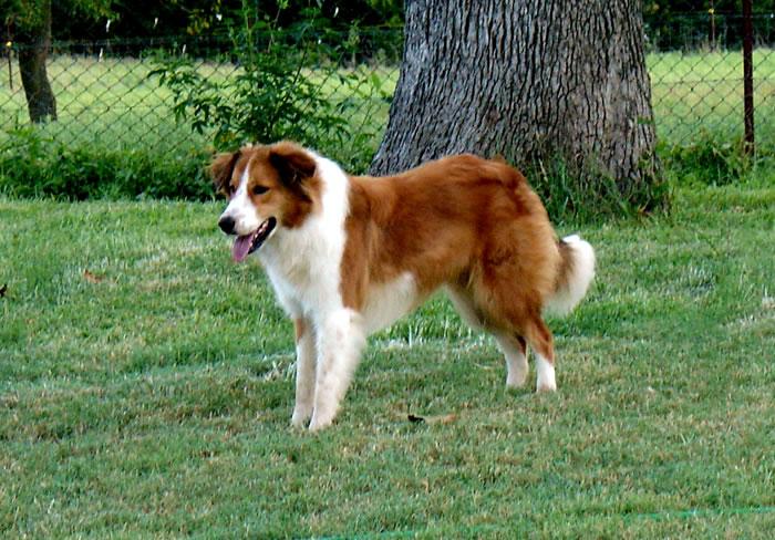 Scotch Collie Dog: Scotch Best Dog I Ever Had Breed