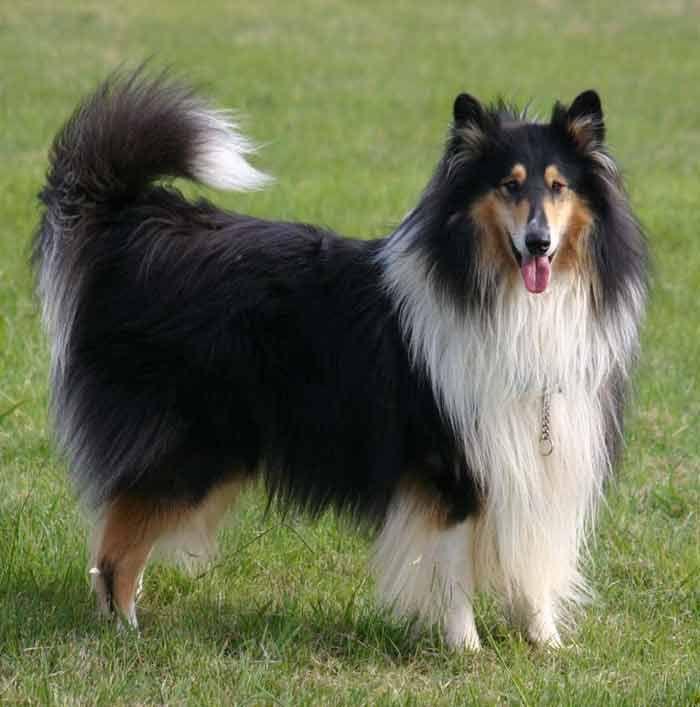 Scotch Collie Dog: Scotch Breed