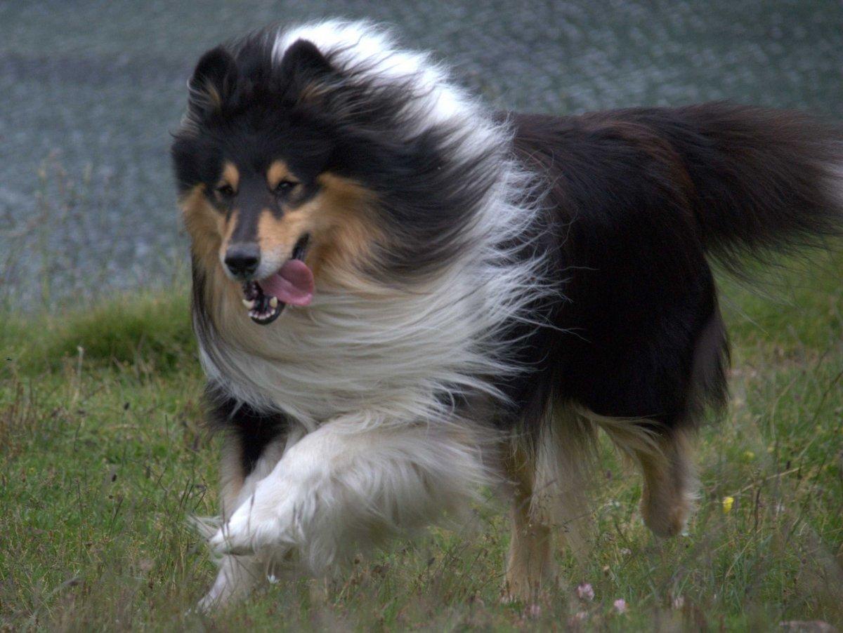 Scotch Collie Dog: Scotch Dog Breeds That Live The Longest