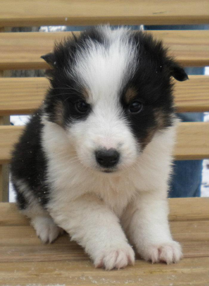 Scotch Collie Puppies: Scotch Heiland Thistle Collie Puppies Available Breed