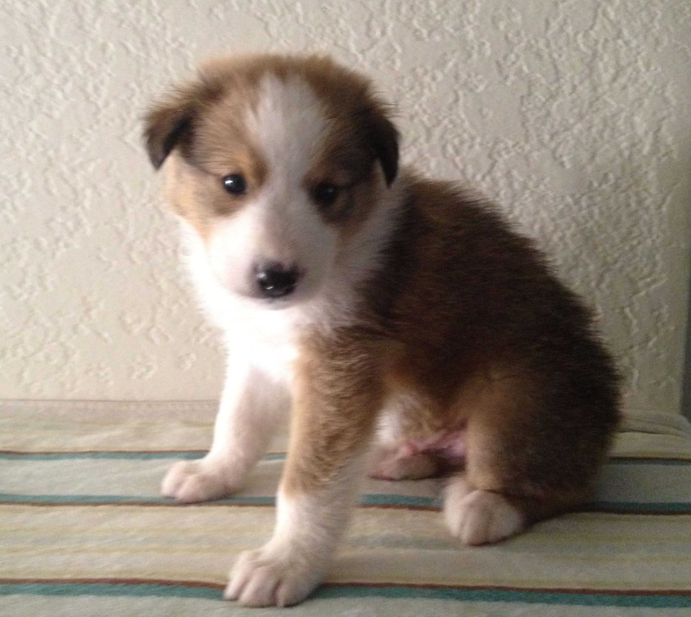 Scotch Collie Puppies: Scotch Latest Puppy Pictures Breed