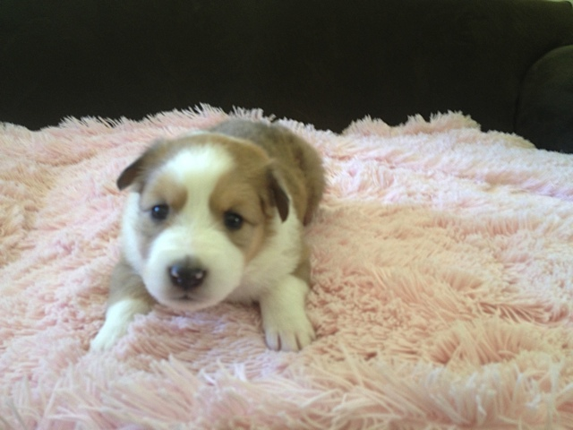 Scotch Collie Puppies: Scotch New Litter Of Scotch Collie Puppies Breed