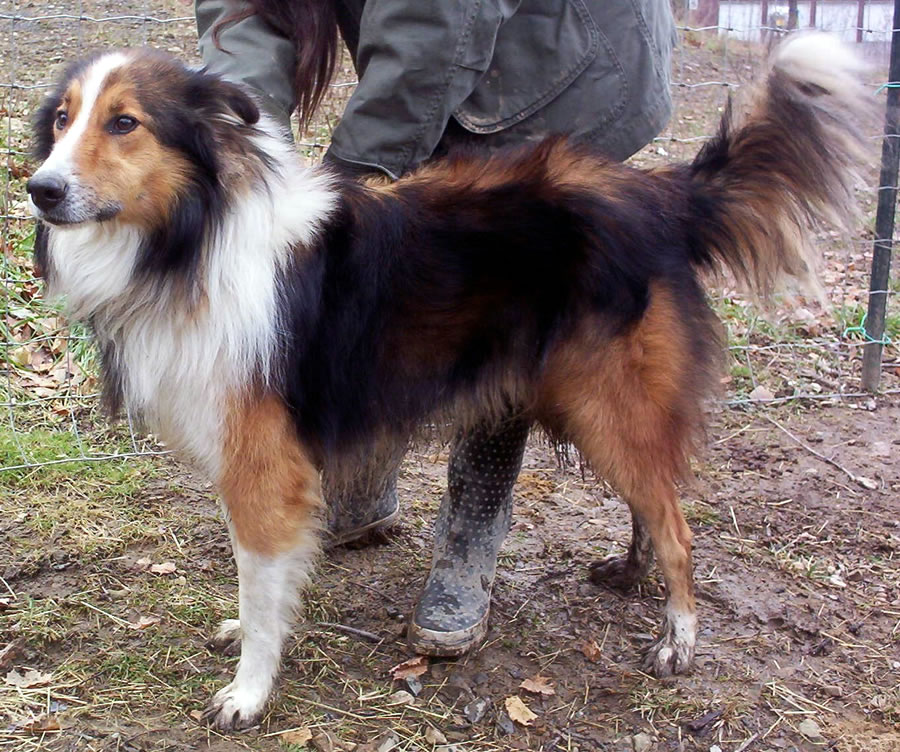 Scotch Collie Dog: Scotch Old Time Scotch Collies Of Note Breed
