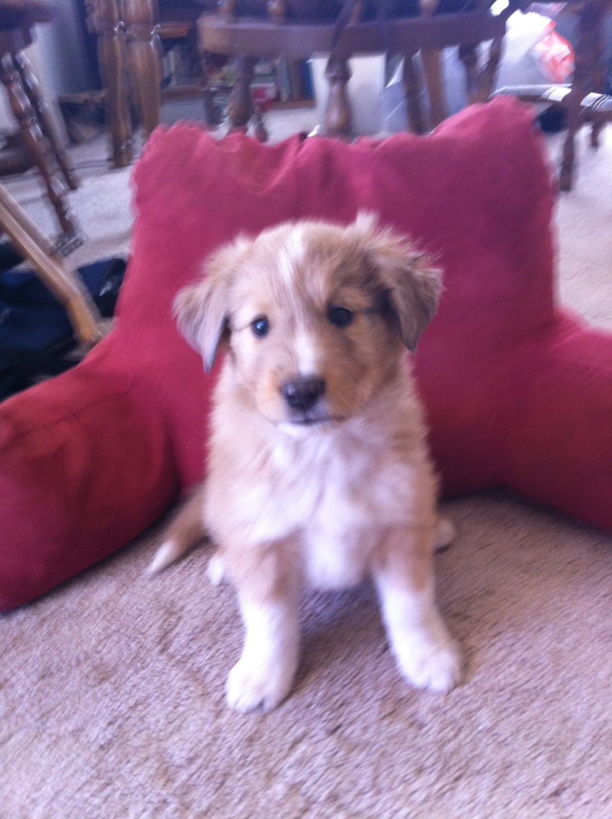 Scotch Collie Puppies: Scotch Puppies Are Six Weeks Now Breed