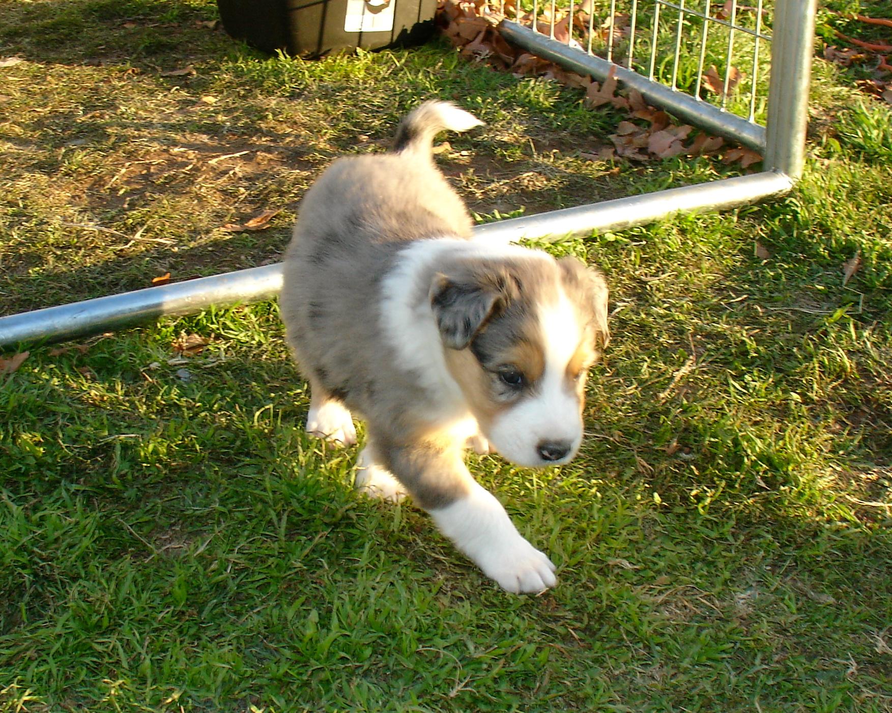 Scotch Collie Dog: Scotch Running Scotch Collie Dog Breed