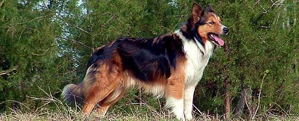 Scotch Collie Dog: Scotch Scotch Collie Breed