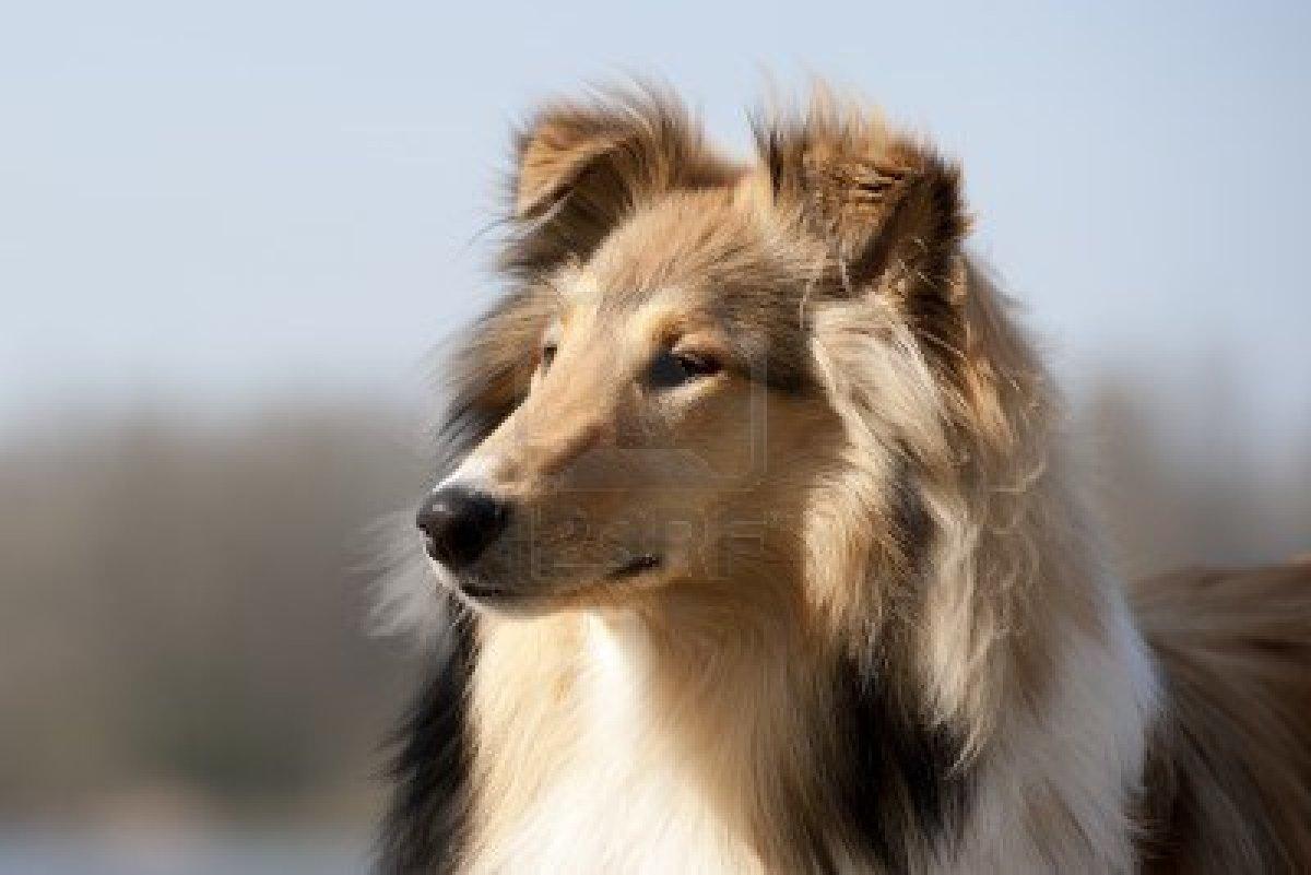 Scotch Collie Dog: Scotch Scotch Collie Dog Face Breed