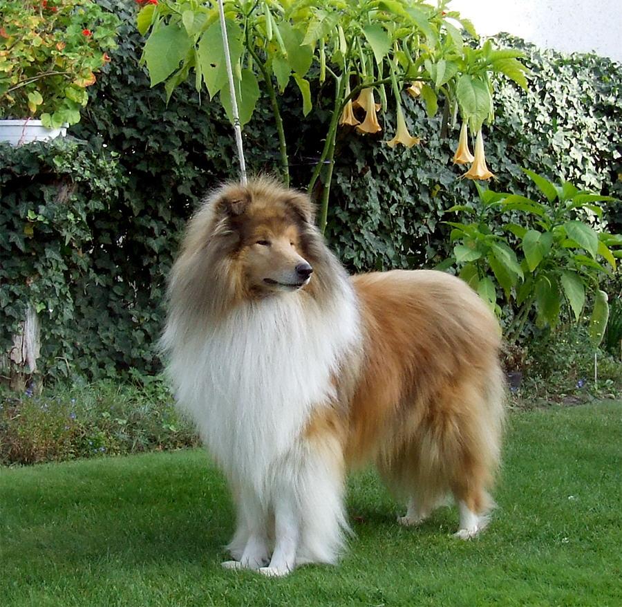 Scotch Collie Dog: Scotch Scotch Collie Dog On The Grass Breed