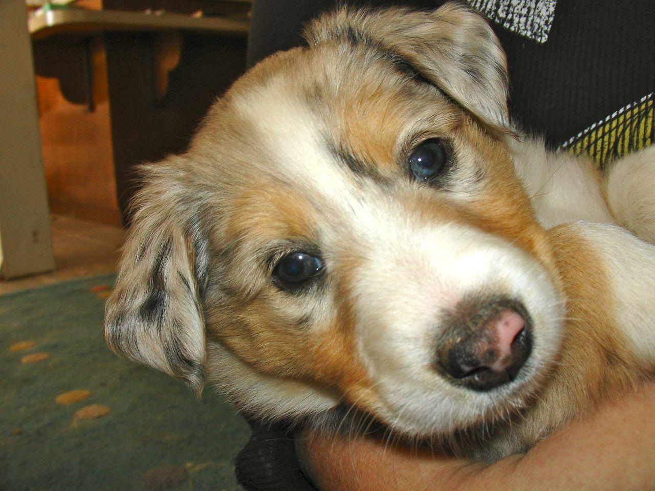 Scotch Collie Dog: Scotch Scotch Collie Puppy Breed