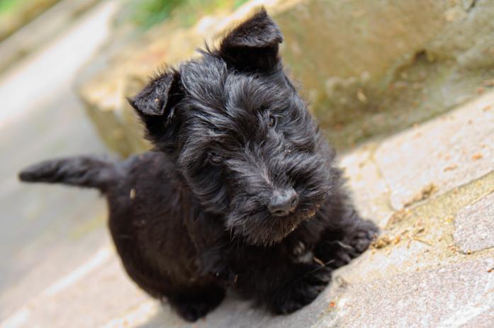 Scottish Terrier Puppies: Scottish A Scottish Terrier Puppys Is Worth Words Breed