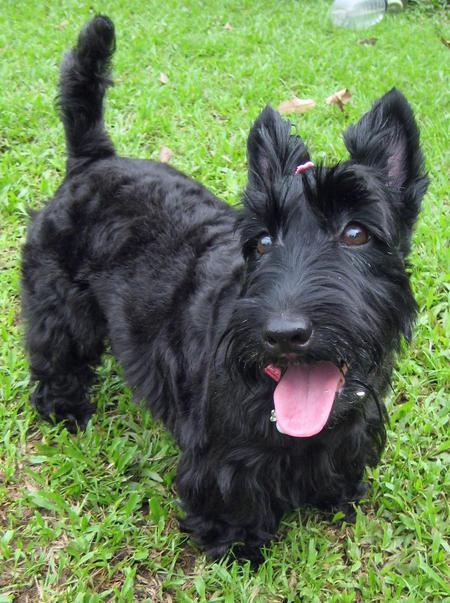 Scottish Terrier Dog: Scottish Abbey The Scottish Terrier Breed