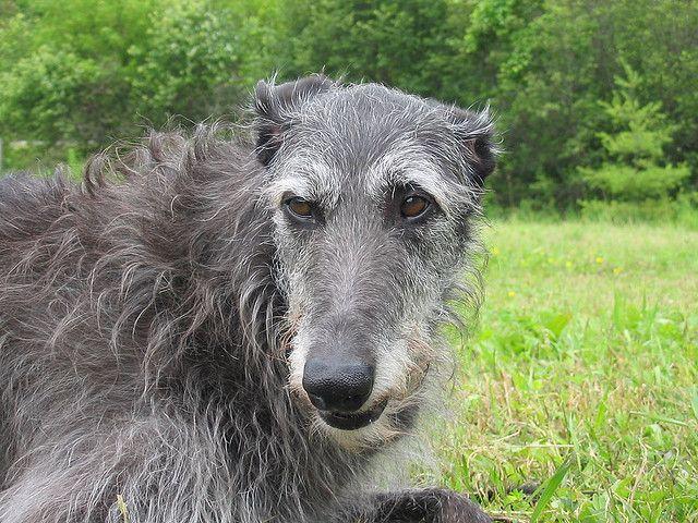 Scottish Deerhound Dog: Scottish Breed