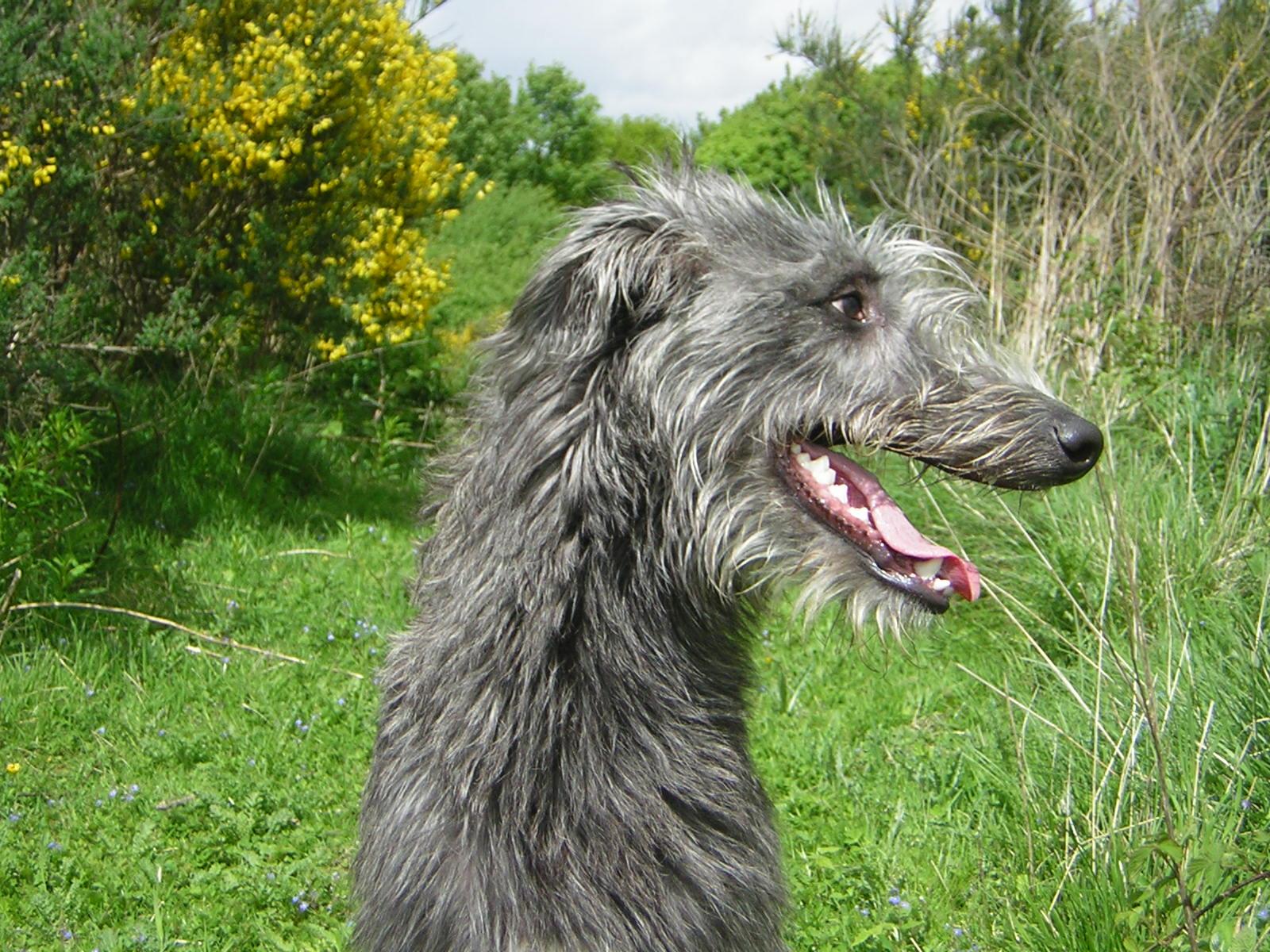 Scottish Deerhound Dog: Scottish Cute Scottish Deerhound Dog Breed
