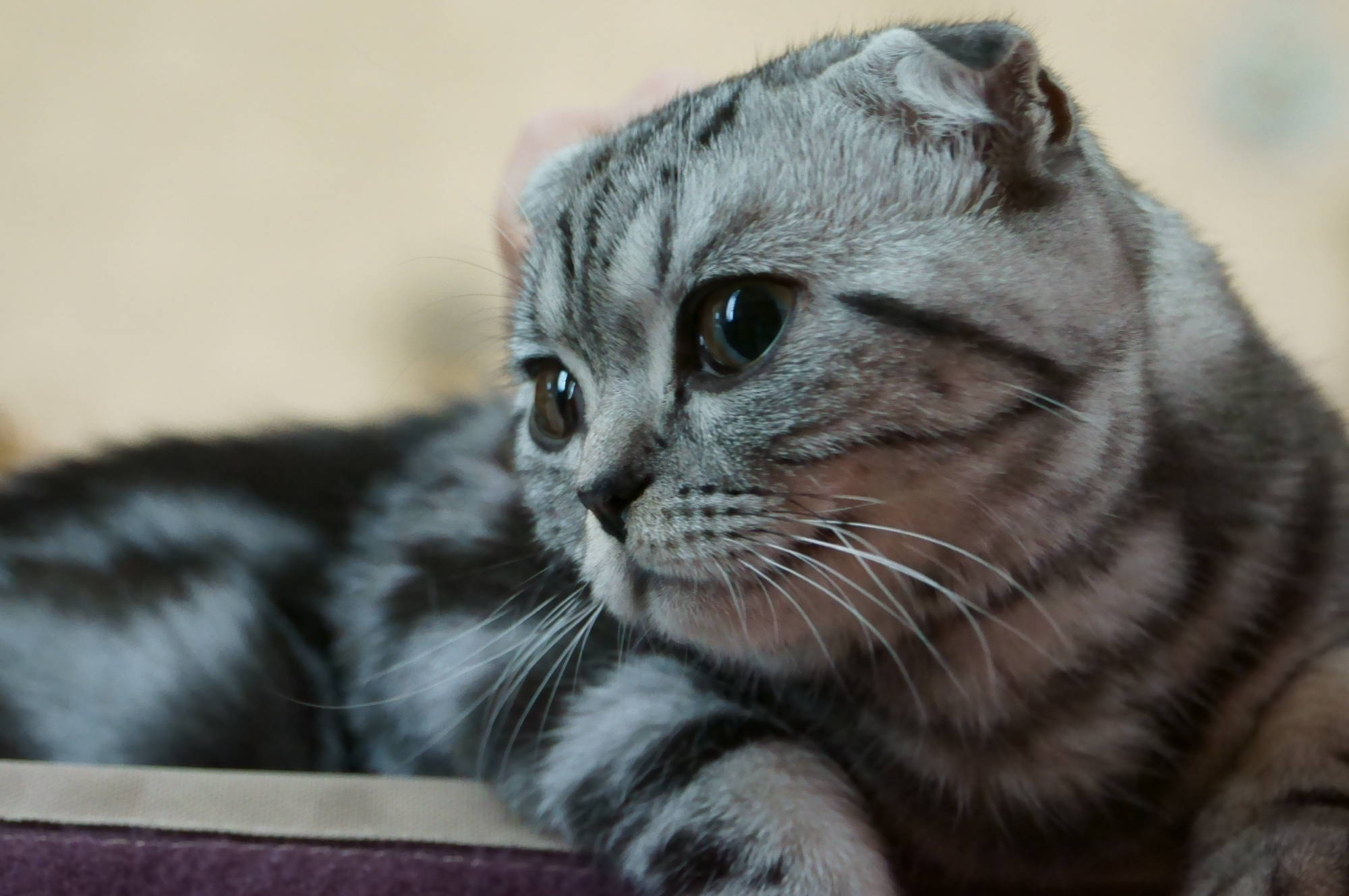 Scottish Fold Cat: Scottish Cute Scottish Fold Cat Breed