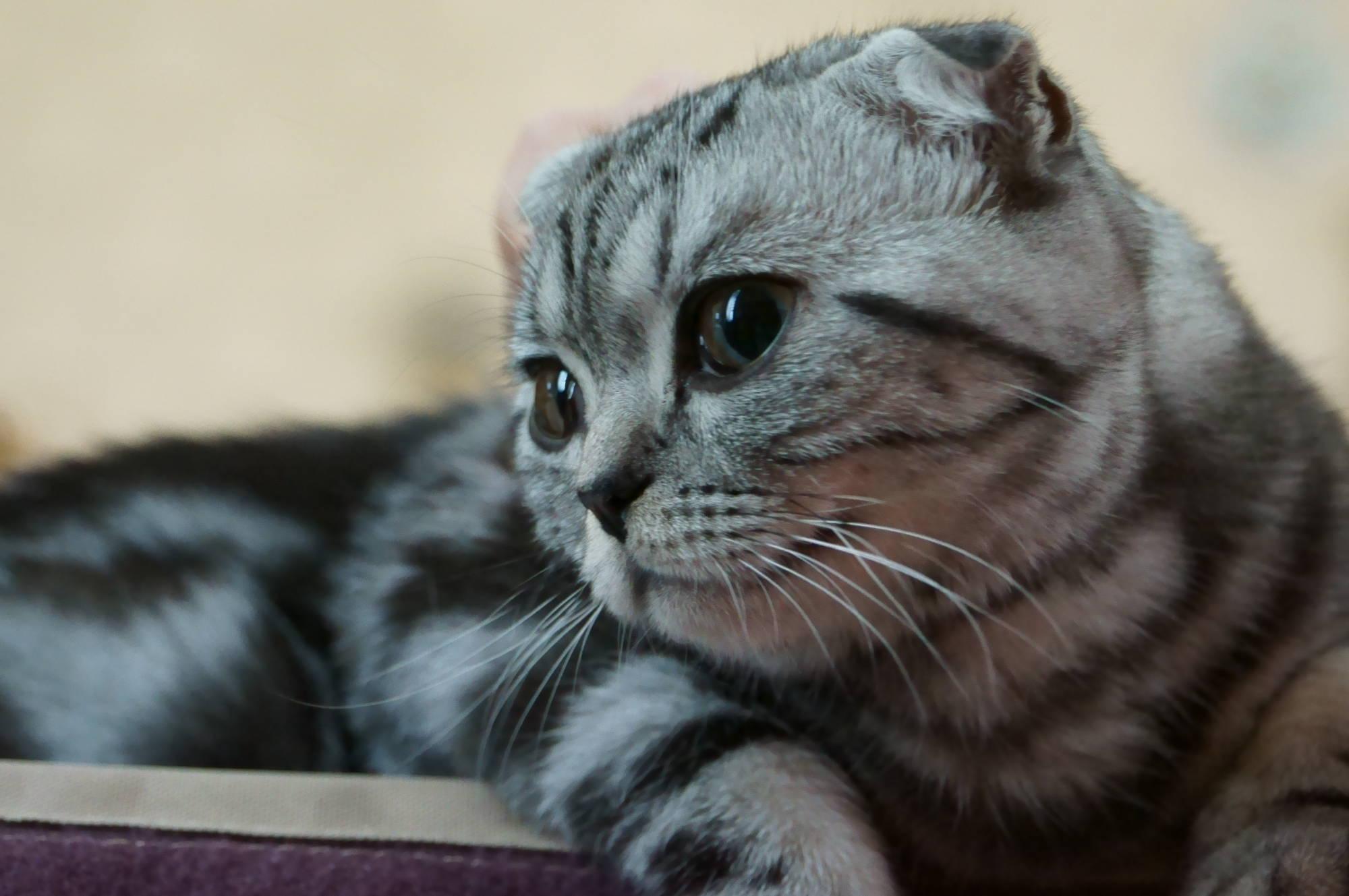 Scottish Fold Cat: Scottish Cute Scottish Fold Cat Breed