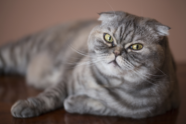 Scottish Fold Cat: Scottish Floppy Eared Facts About Scottish Fold Cats Breed
