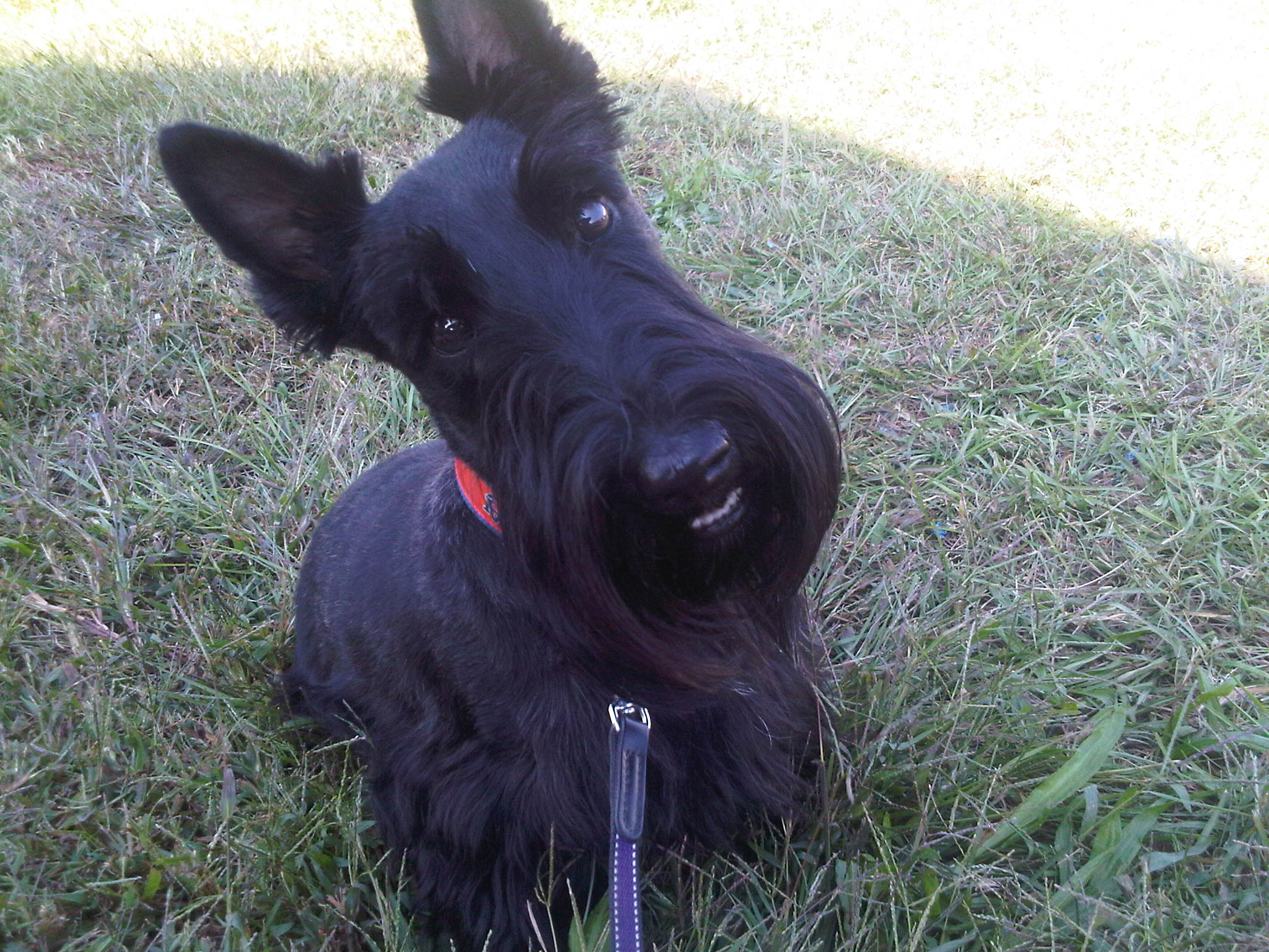 Scottish Terrier Dog: Scottish Funny Scottish Terrier Dog Face Breed