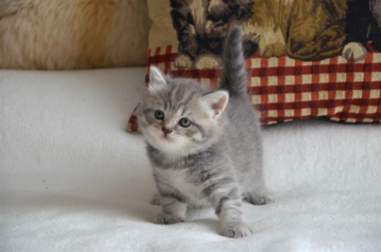 Scottish Fold Kitten: Scottish Gorgeous Scottish Fold Kittens Available Gillingham Breed