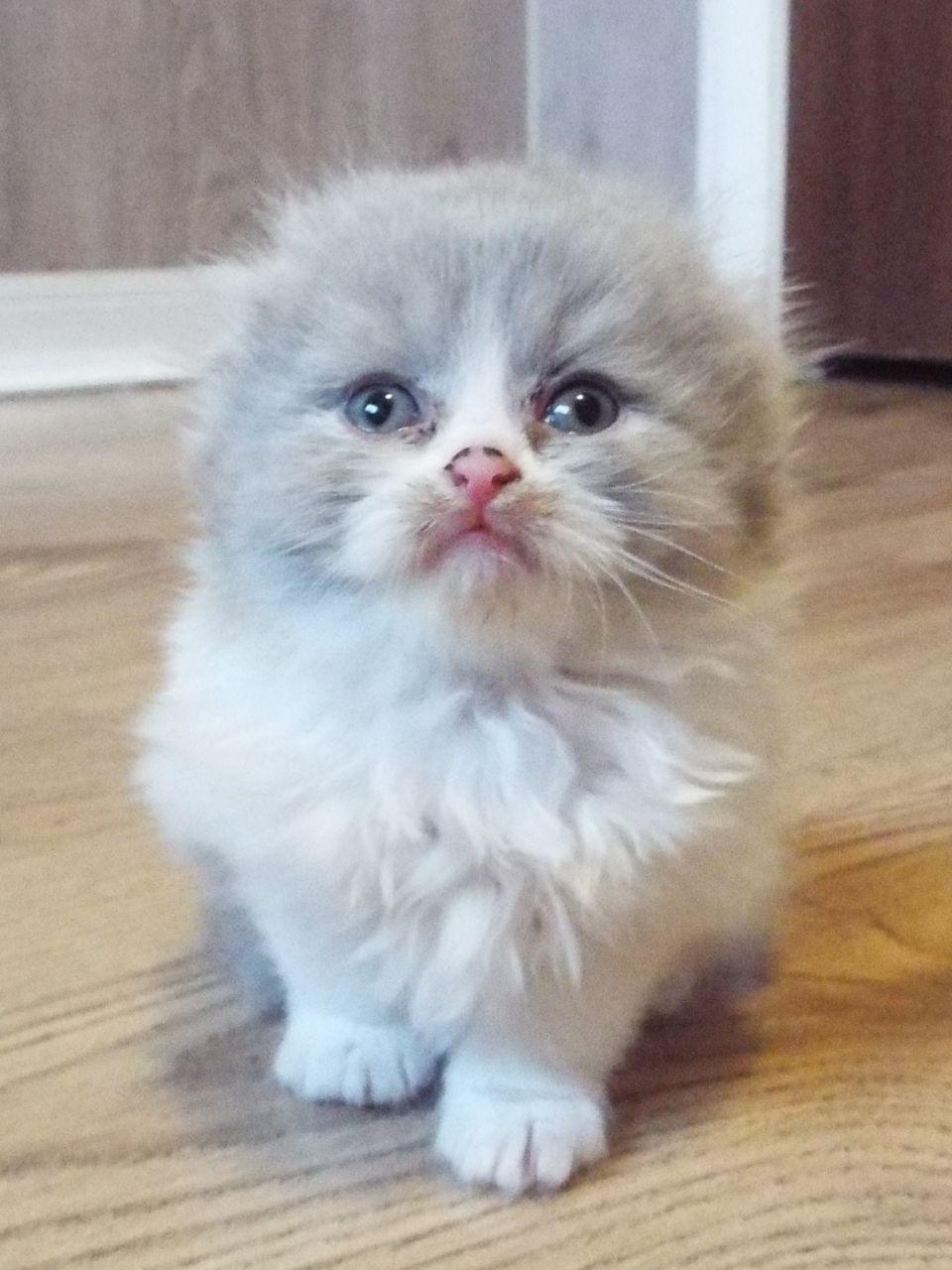 Scottish Fold Kitten: Scottish Gorgeous Scottish Fold Kittens Glasgow Breed