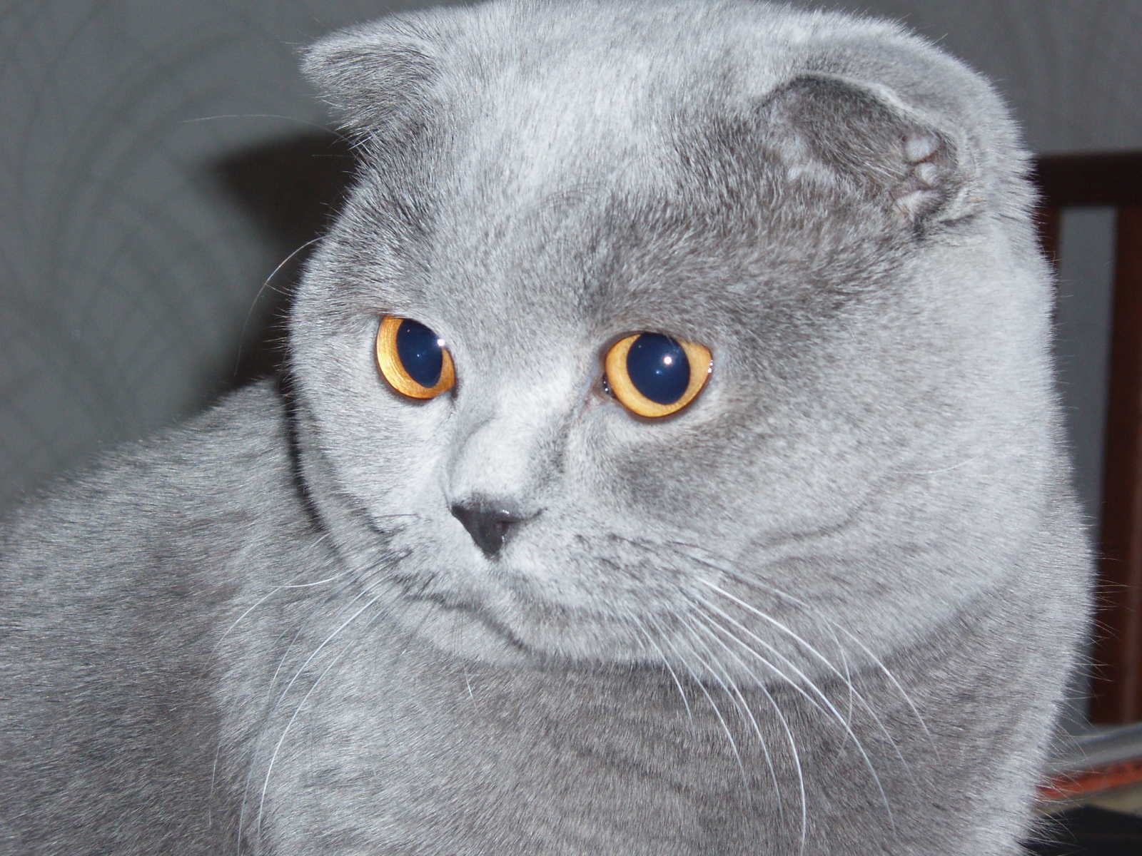 Scottish Fold Cat: Scottish Grey Scottish Fold Cat Hd Breed