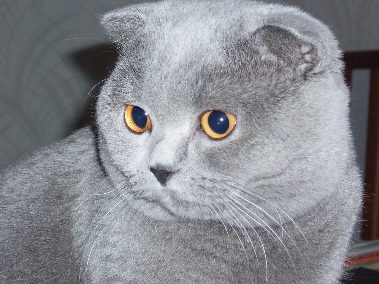 Scottish Fold Cat: Scottish Grey Scottish Fold Cat Hd Breed