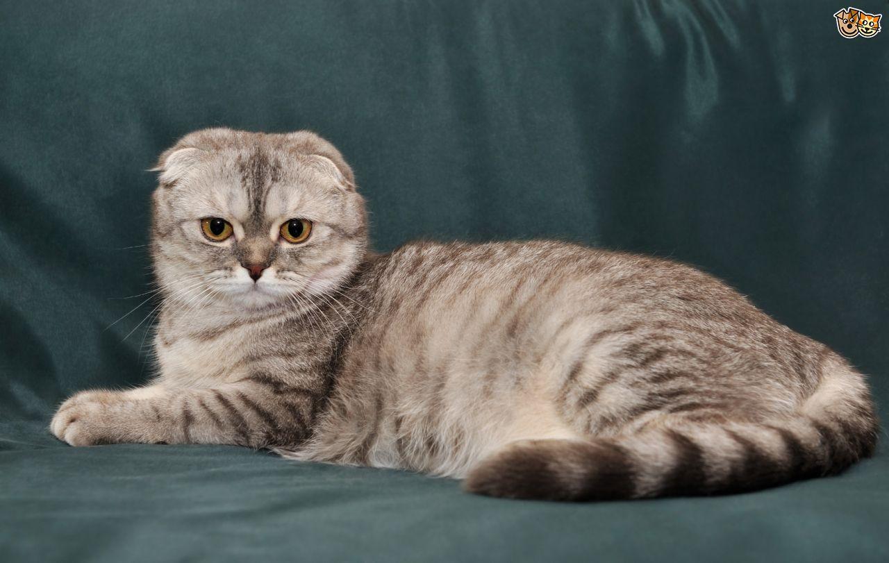 Scottish Fold Cat: Scottish Home Breed