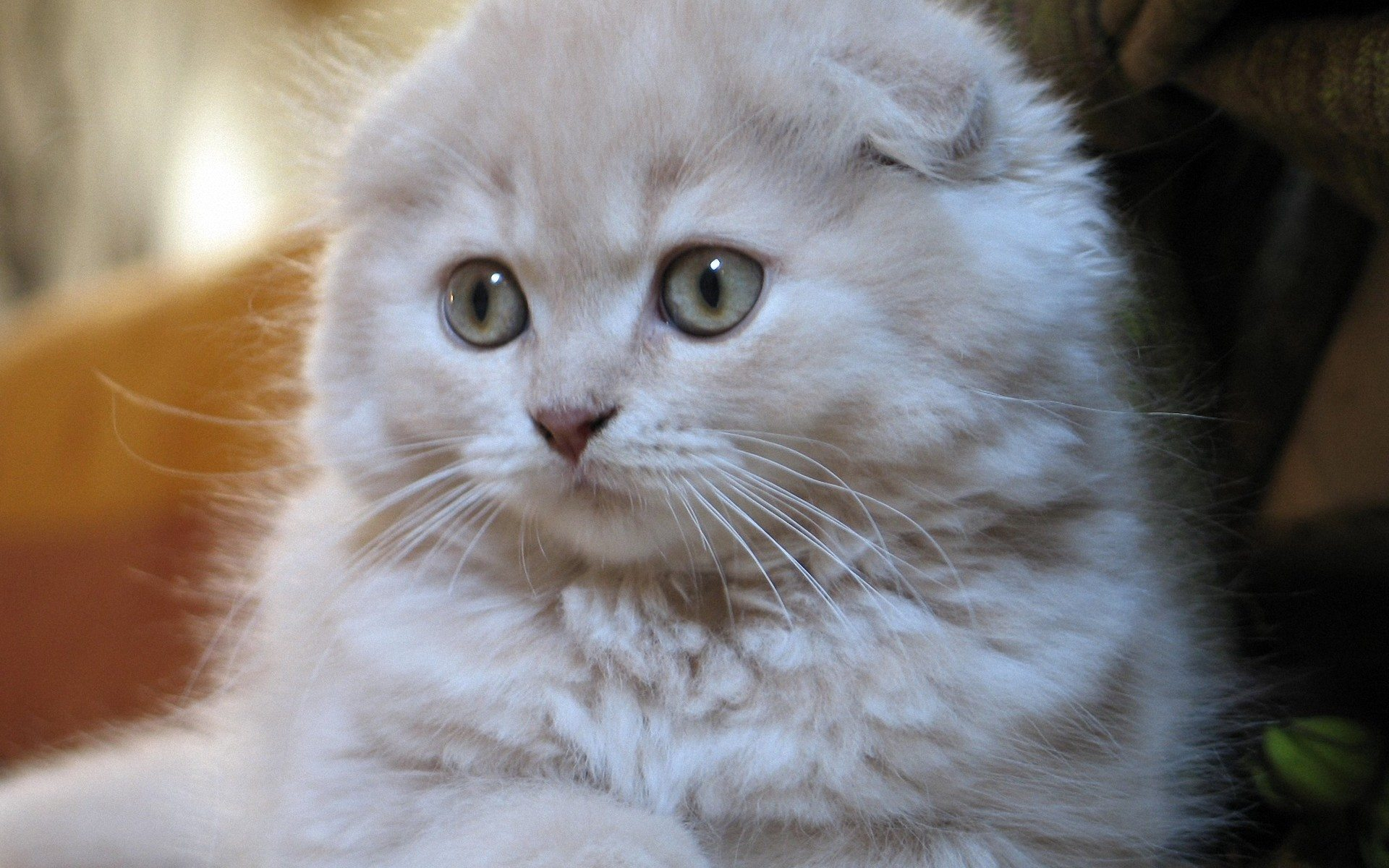 Scottish Fold Kitten: Scottish I Breed