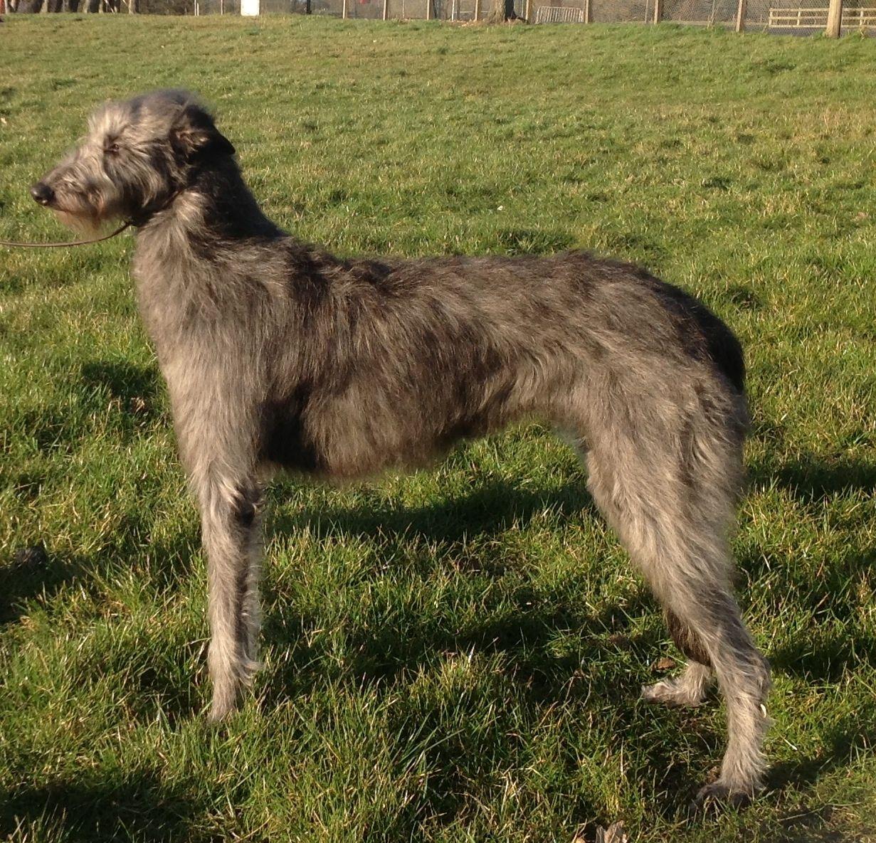 Scottish Deerhound Puppies: Scottish Kc Registered Deerhound Puppies For Sale Machynlleth Breed
