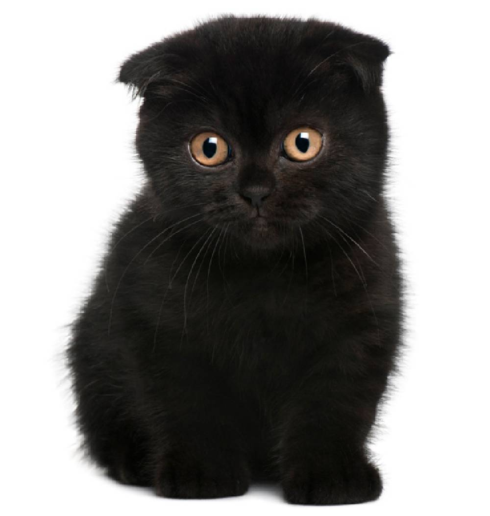 Scottish Fold Kitten: Scottish Lacarmina Breed