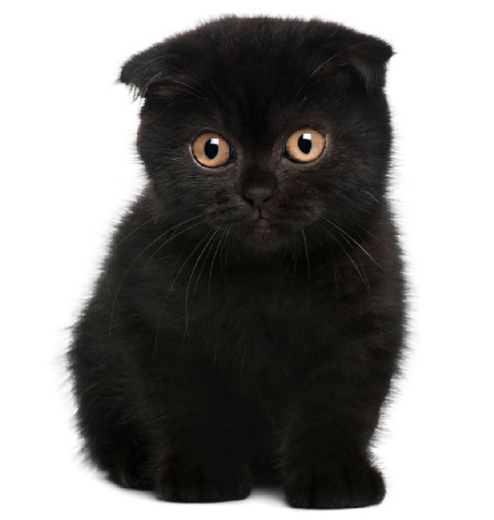 Scottish Fold Kitten: Scottish Lacarmina Breed