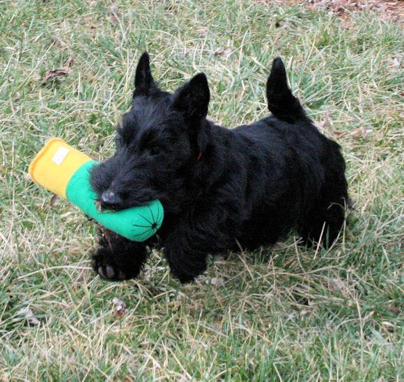 Scottish Terrier Puppies: Scottish Puppies Breed