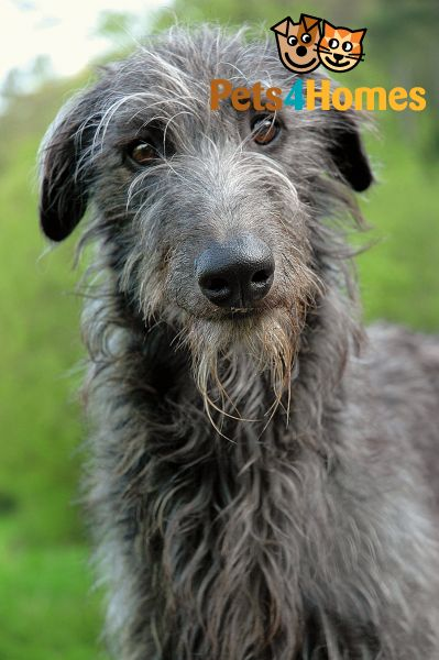 Scottish Deerhound Puppies: Scottish Purebred Puppy Breed