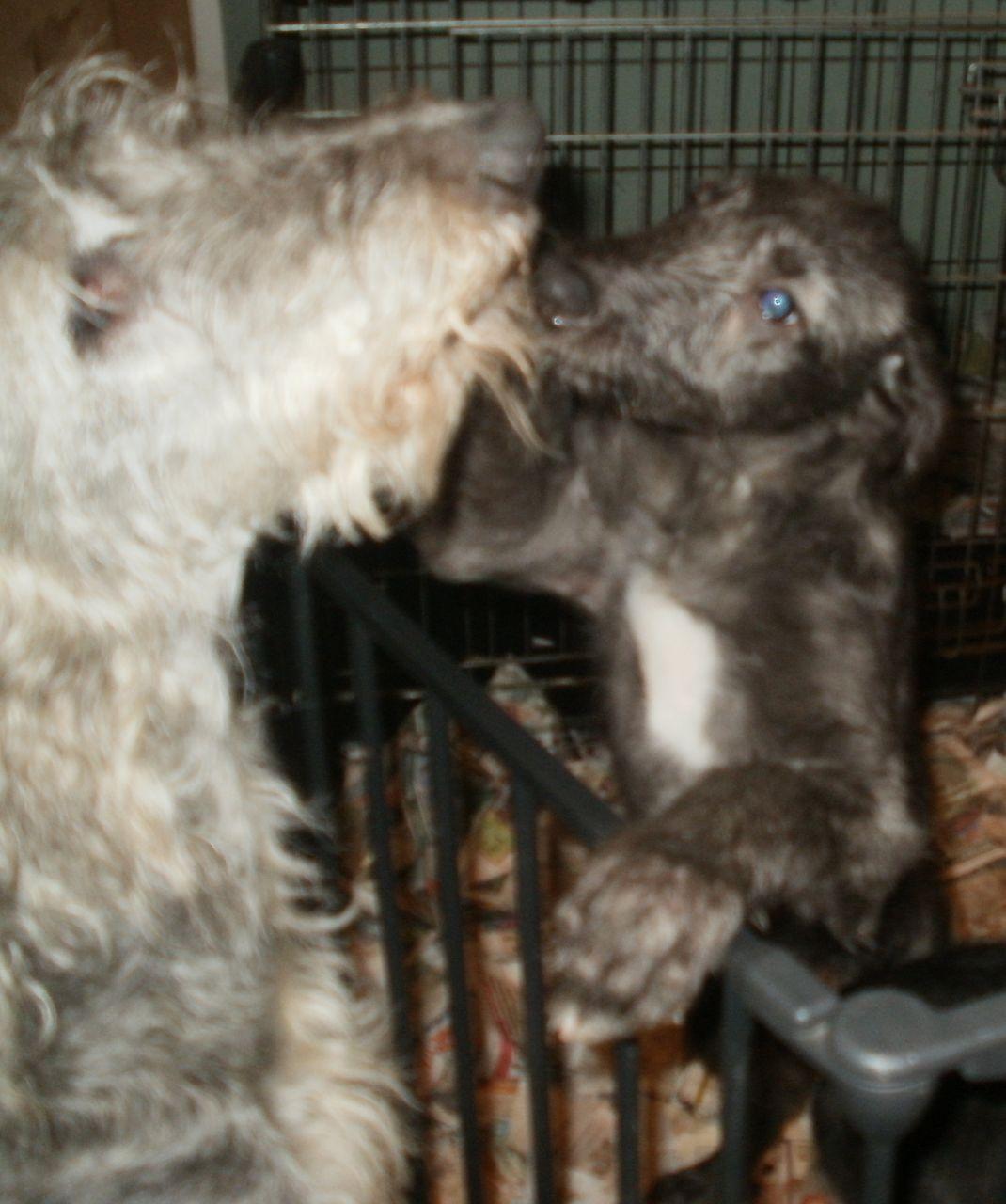 Scottish Deerhound Puppies: Scottish Quality Scottish Deerhound Puppies Lifton Breed