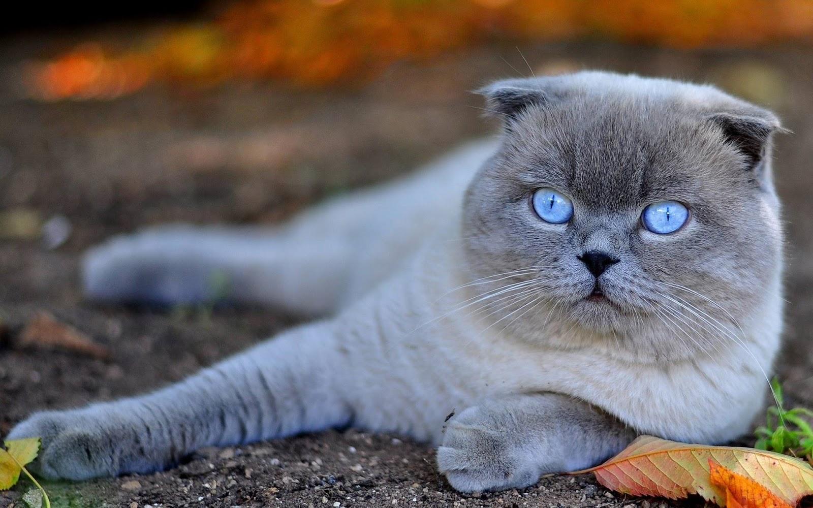 Scottish Fold Cat: Scottish Razas De Gatos Scottish Fold Breed