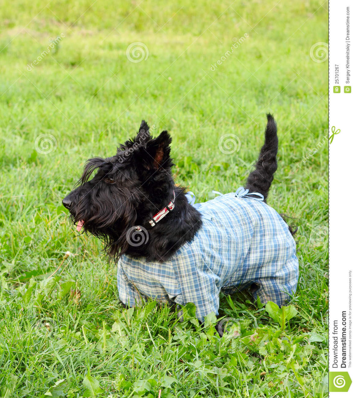 Scottish Terrier Dog: Scottish Royalty Free Stock Graphy Scottish Terrier Dog Breed