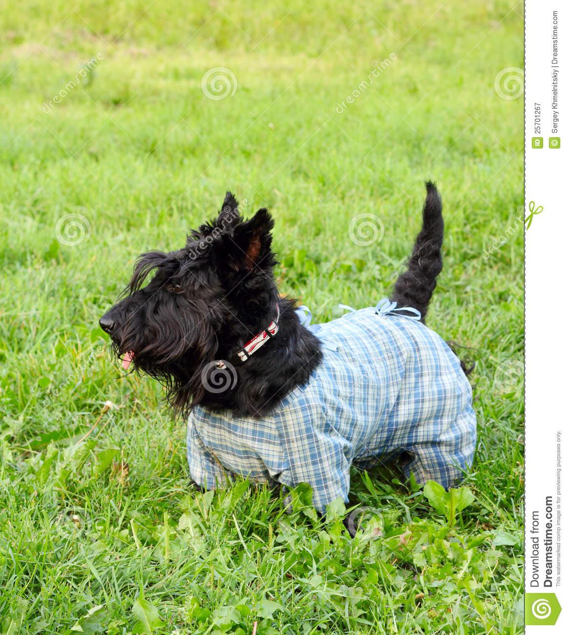 Scottish Terrier Dog: Scottish Royalty Free Stock Graphy Scottish Terrier Dog Breed