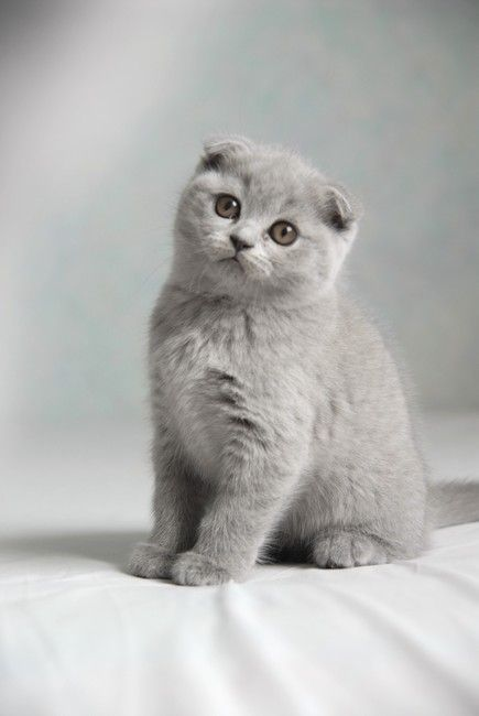 Scottish Fold Cat: Scottish Schottische Faltohrkatze Breed